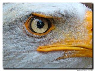 eagle_46